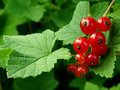 Redcurrant Royalty Free Stock Photos - 10279078