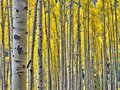 Golden Aspens In Rocky Mountain National Park Stock Images - 102830554