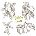 Garden Fruits, Apples, Apricots, Cherries, Plums Royalty Free Stock Images - 103000079