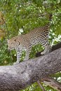 Wallpaper Online - Leopard Coming Down From Tree Royalty Free Stock Photos - 103306738