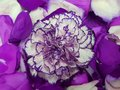 Purple With White Carnation Flower And Rose Petals Royalty Free Stock Photography - 103326267