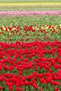 Endless Colorful Tulips - Wallpaper Stock Photography - 103335812