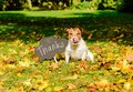 Thanksgiving Concept With Dog On Fall Leaves And Plate With `thanks` Word On It Stock Photo - 103389060