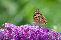 Painted Lady Butterfly Royalty Free Stock Photography - 10341437