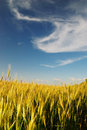 Wheaten Field Royalty Free Stock Images - 10344669