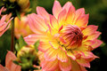 Dahlia Stock Photography - 10361342