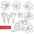 Vector Set With Outline Freesia Flower Bunch And Ornate Bud In Black Isolated On White Background. Perennial Fragrant Plant. Royalty Free Stock Photo - 103614815