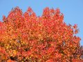 American Sweetgum, In Fall Season With Its Red, Orange And Yellow Leaves Stock Photo - 103782090