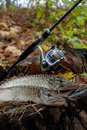 Freshwater Pike Fish Lies On A Wooden Hemp And Fishing Rod With Royalty Free Stock Photos - 103920868