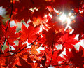 Autumnal Ornament, Red Leaves Of Maple Stock Photography - 10406482