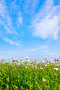 Field Of Poppies And Blue Sky. Stock Image - 10415871