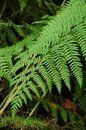 Green Fronds Of A Fern Royalty Free Stock Images - 104610259