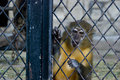 Monkey In A Cage Royalty Free Stock Photo - 10478385