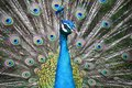 Blue Peacock With Colorful Feathers Stock Images - 104811714