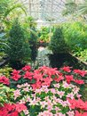 Christmas Poinsettias In Garfield Park Conservatory Stock Photography - 104949432