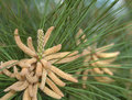 Loblolly Pine 23 Stock Images - 1057464