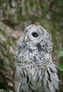 Barred Owl Royalty Free Stock Photos - 10506008