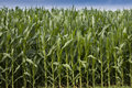 Corn Field Royalty Free Stock Photos - 10519918