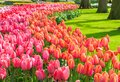Pink And Red Tulips Stock Photography - 105175912