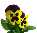 Pansy Violet Springtime Viola X Wittrockiana Royalty Free Stock Images - 10534299