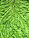 Fern Leaves Close-Up Royalty Free Stock Photos - 10548418