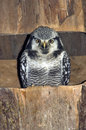 Northern Hawk Owl Royalty Free Stock Images - 10552499