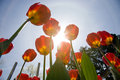 Tulips Stock Images - 10578134