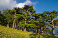 Pine Tree Forest Stock Photography - 10586792