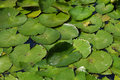 Frog On Water Lilly Leaves Stock Image - 10588821