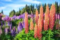 View Of Lupin Flower Field Near Lake Tekapo Landscape, New Zealand. Various, Colorful Lupin Flowers In Full Bloom Stock Images - 105835684