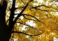 Yellow Maple Autumn Leaves Royalty Free Stock Images - 105839539