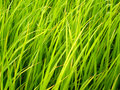 Rice Field In Thailand 4 Stock Photo - 1067540