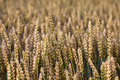 Crop Fields Royalty Free Stock Photography - 10603057