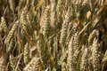 Einkorn Wheat Ears Growing Royalty Free Stock Photography - 10606667