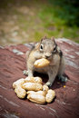 Friendly Chipmunk Stock Images - 10608894