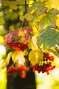 Guelder Rose Or Snowball Tree Royalty Free Stock Photo - 10617025