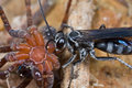 A Wasp And Its Prey - A Paralyzed Spider Stock Images - 10633914