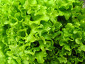 Lettuce Full Frame Stock Images - 10638834