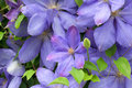 Clematis Royalty Free Stock Photography - 10668807