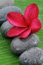 Red Plumeria Royalty Free Stock Photography - 10680117