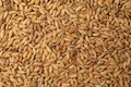 Single Seed Front Pile Of Paddy Grain Unmilled Rice. Royalty Free Stock Photography - 106885867