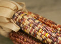 Indian Corn Stock Image - 10697991