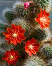 Cactus Aylostera With Red Flowers. Royalty Free Stock Photo - 106973865