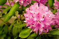 Pink Rhododendron Flowers Stock Photography - 10704002
