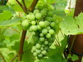 Grapevine Stock Images - 10746904