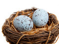 Two Blue Robins Eggs In Nest-Decoration Royalty Free Stock Image - 10762276