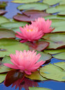 Pink Water Lily Stock Photography - 10764002