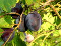 Plums Stock Image - 10766521