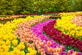 Tulip Flowers Garden In Spring Background Or Pattern Stock Image - 107696731