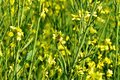 Mustard Crop Field Leaf Honeybee Nature Yellow Flowers Countryside Bright Day Royalty Free Stock Image - 107718216